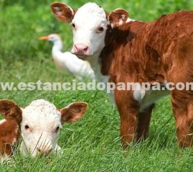 https://www.estanciadopampa.com.br/wp-content/uploads/2014/04/terneros_hereford.jpg